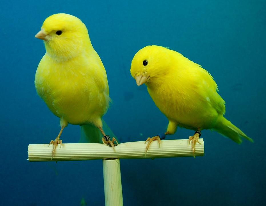 Pastoncino per uccelli: acquistarlo già pronto o realizzarlo in casa?